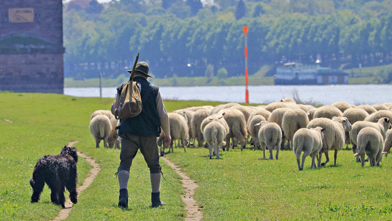 Ein Hirte von hinten, vor ihm eine Schafherde